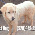 Found Great Pyrenees Eastside Please help find owner #tucson #lostdog http://t.co/aHR6JGeWiz
