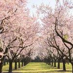 La Quinta de Los Molinos, el parque para ver almendros en flor en #Madrid #PontuYeappalli @MadridSeduce @madrizmola http://t.co/2MAbwyUbCV