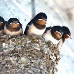 【意外と知らないツバメの飛び抜けた能力。春を呼ぶ渡り鳥・ツバメの飛来シーズン到来!】 http://t.co/OXIBA9dcz1 春になると軒先にツバメが巣をつくるという光景も、最近ではなかなか見られなくなった.. http://t.co/UIbwjkcDeo