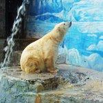 TU VOZ   El Oso Polar que murió en Santiago sin jamás conocer los hielos árticos http://t.co/ONht60RUE5 http://t.co/9d8RfMT4z5