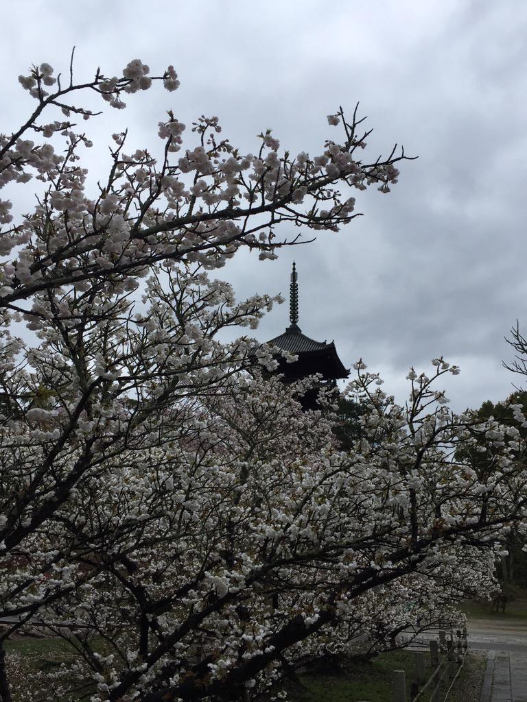 本日4月8日の御室桜です。満開です。4月14・15日頃まで見頃と予想しています。 http://t.co/EK6ldNuBek