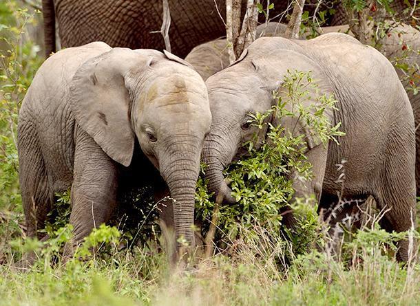 Unless China commits to ending the ivory trade, #elephants will be doomed: @paulakahumbu http://t.co/k1N5lnnedD http://t.co/aTyqtVz8vl