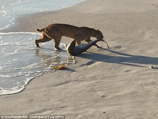 A bobcat goes shark fishing on a Florida beach. http://t.co/Zfg38zYiDD http://t.co/SdLqRmlk2f via @ViralSpell ..
