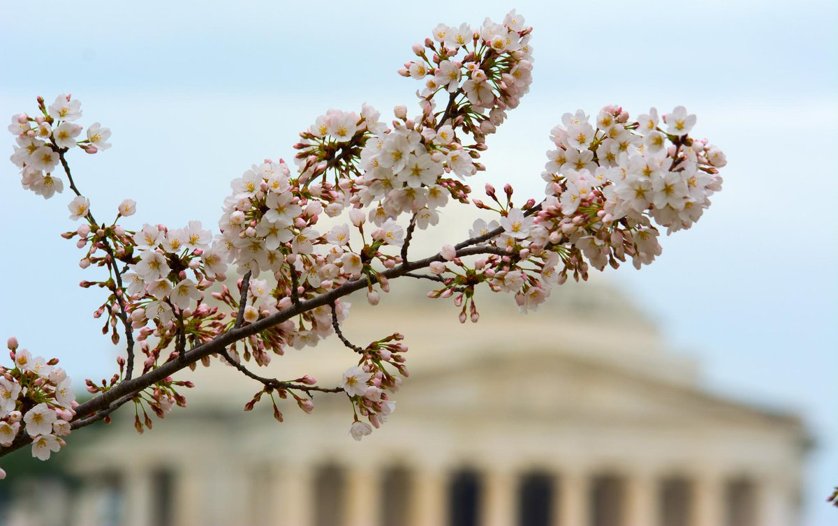 RT @capitalweather: CherryBlossoms are bursting in D.C. this week, making quick progress. Peak bloom this h…