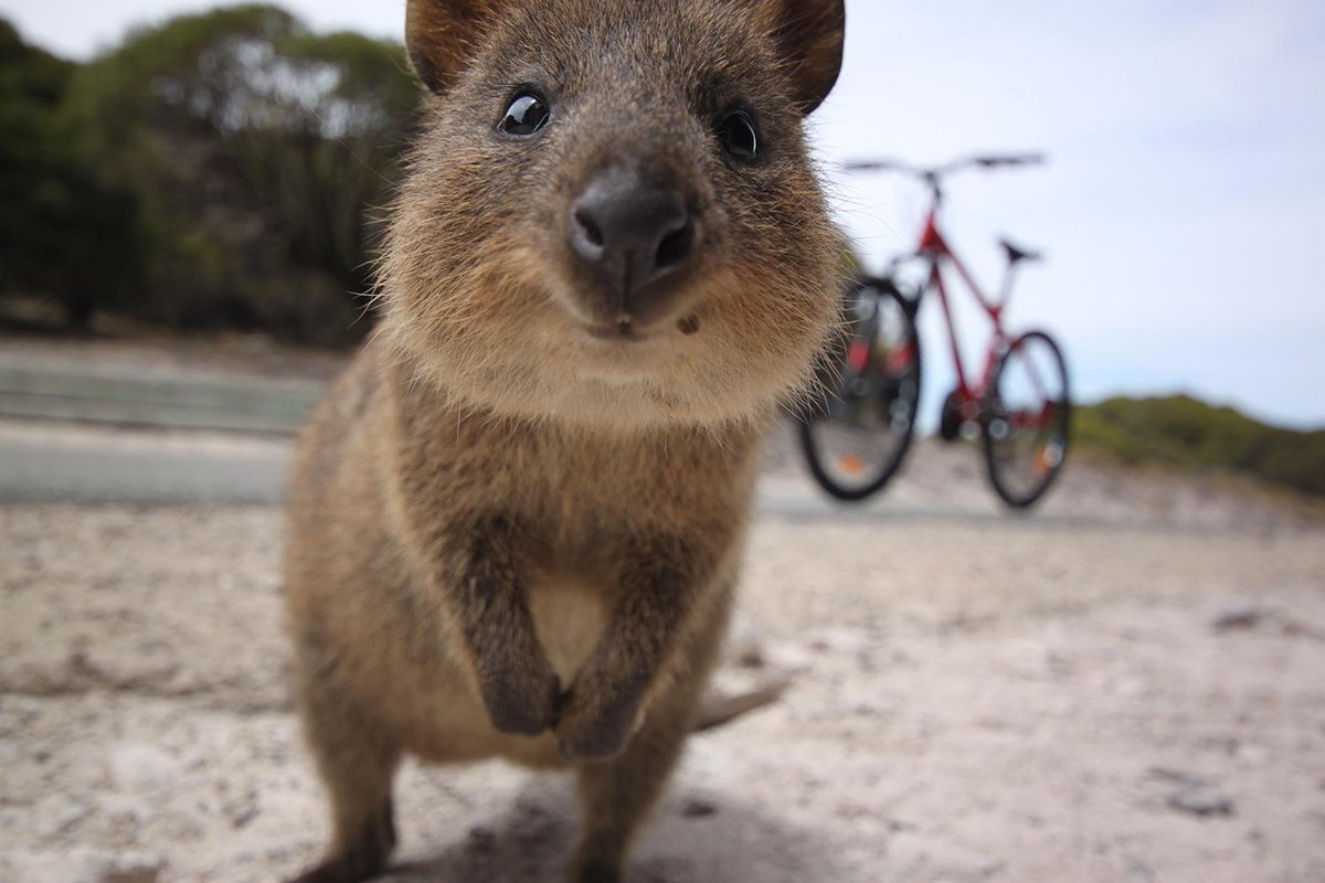 Lesser-known creatures in Australia's Wild West Pictured: a curious quokka