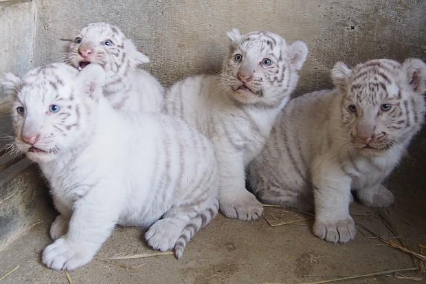 ホワイトタイガー:赤ちゃんすくすく公開へ…東武動物公園 - 毎日新聞 http://t.co/g1P7ZY4Q0U http://t.co/vCCortSD8y