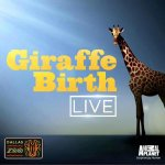 Don't miss #GiraffeBirthLive special on @AnimalPlanet tonight at 9/8c. http://t.co/g7nYDN4aja
