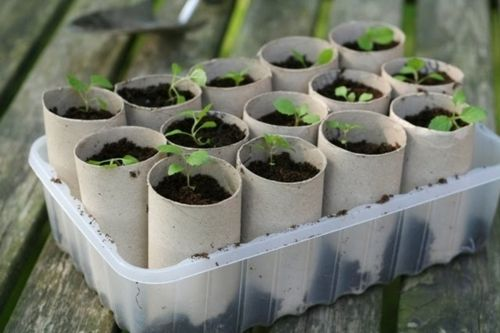 Recycle: start seedlings in toilet paper rolls. Plant the whole roll, which will decompose.  #gardening http://t.co/EAd48c96Qt