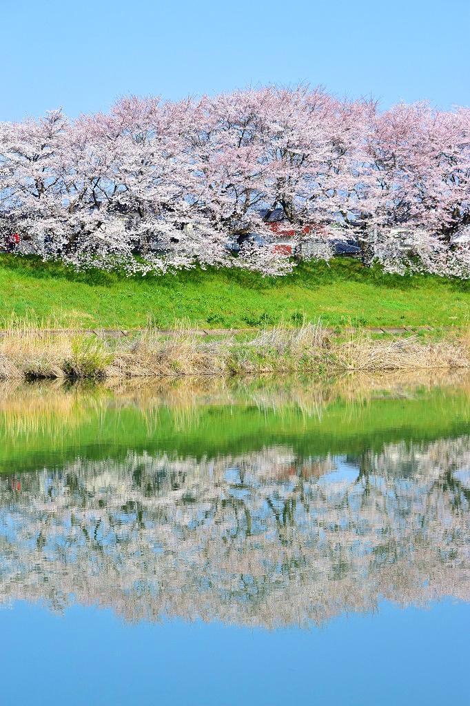今日の大河原の桜、改めて撮影したものを見直してみると、これが本日のイチバンかな。早朝に行ったんで、風もほとんどなく、遊覧船も波もなかったんで、ここまで撮影できた。「早起きは三文の得」だね。#大河原 #桜 http://t.co/QbokHN0VTa