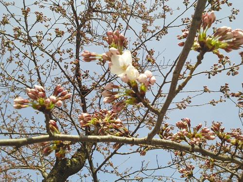 4月12日、鶴ヶ城の桜の開花宣言が行われました!! 本日はまた冷え込んだ一日となっておりますので、鶴ヶ城へお出での際は暖かくしてお出かけください。 #会津華たび #会津さくら http://t.co/a6MN3K9Zts