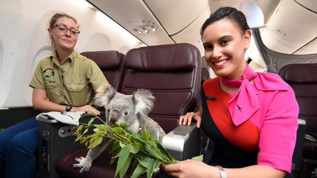 .@Qantas Introduces 'Koala Class' on Flight from Australia to Singapore