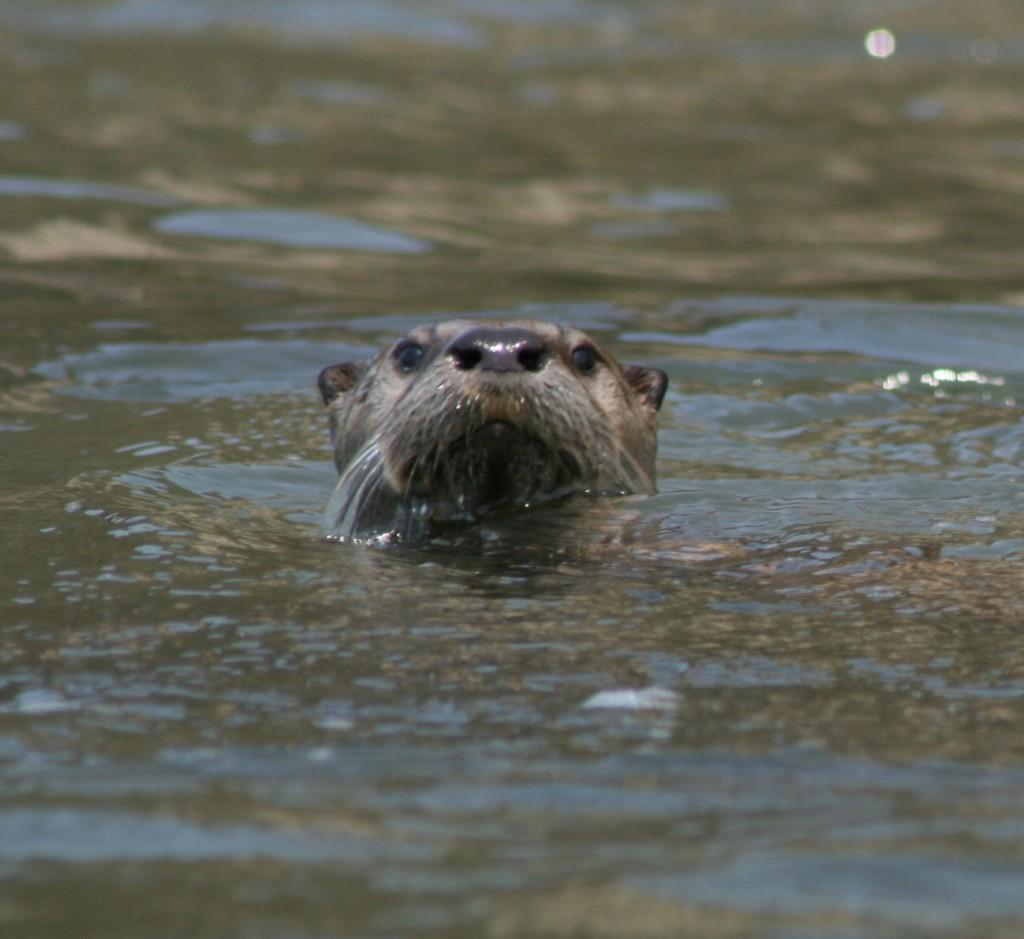 River otter populations are expanding in the Bay Area http://t.co/2lsFvKIMYz #cute http://t.co/3M9CJmYVvC