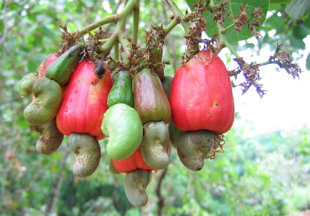 今日先輩に「カシューナッツが木にどのようになっているか」を教えてもらった。想像の斜め上を行っていた。(赤い部分は実。その下についているのがおなじみのカシューナッツ) http://t.co/EBMey5STgp