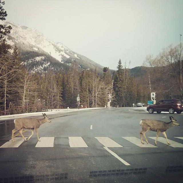 Abbey Road album cover, Banff deer style.  photo via Alex Charman #mybanff #explorealberta http://t.co/r5EpGMYWnB