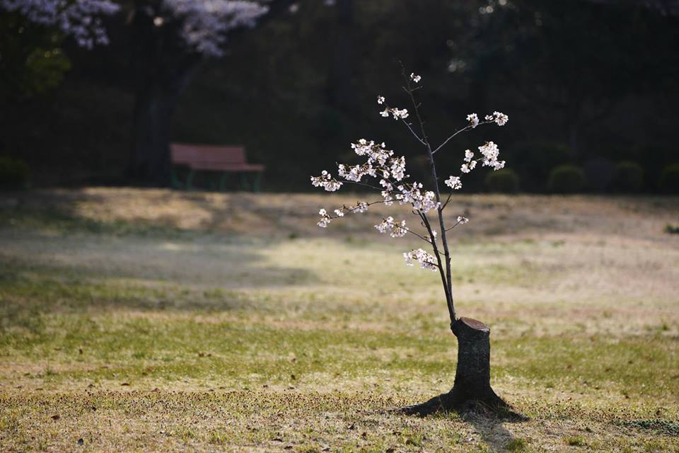 どんな立派な桜よりも、心に響いた桜を見つけました。 http://t.co/x3G0GTu3bP