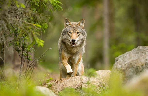 Track wolves, meet the Sami + 9 more incredible travel experiences in Sweden: