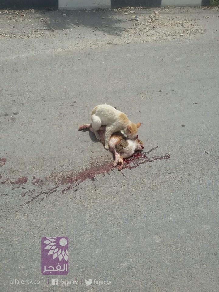 مشهد وفاء نادر.. قط يسحب جثة قط آخر من وسط الطريق بعد تعرضه للدهس في طولكرم بفلسطين يوم أمس المصدر: تلفزيون الفجر http://t.co/P9IwixLKvd