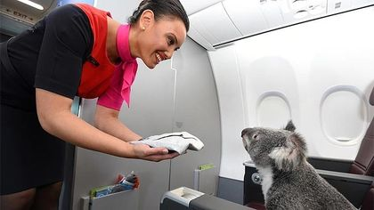 Qantas Airways sat koalas in first class on a flight from Australia to Singapore