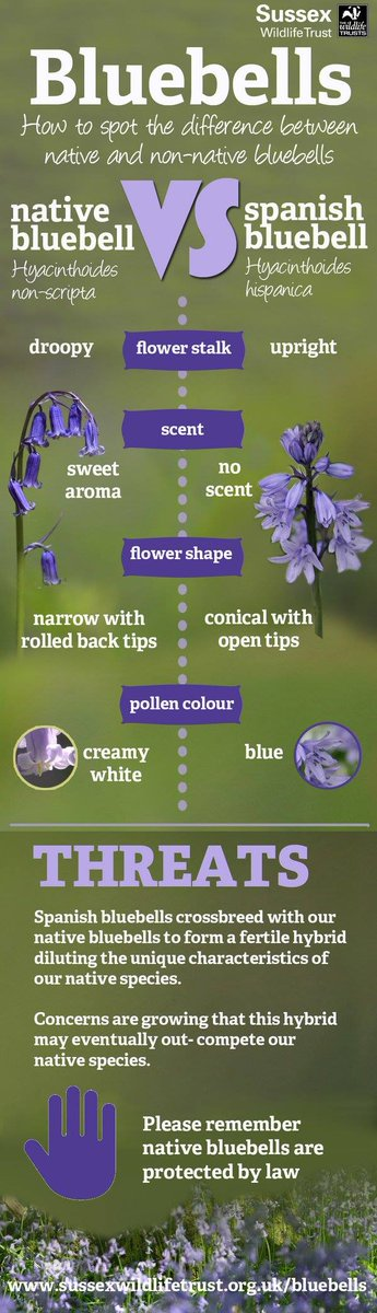 How to spot the difference between native and non-native #bluebells http://t.co/QNMYlRPXXc