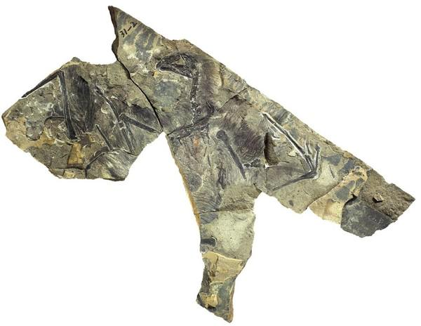 皮膜の「翼」持つ新種恐竜、中国で化石結論に疑問の声も