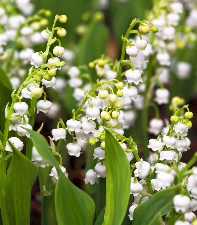 Today is #MayDay in France! The French give each other a lily-of-the-valley posy for good luck. Here's ours