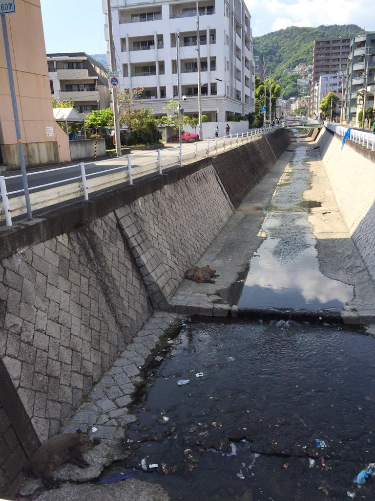 そこらへんの川で野生のイノシシが当たり前のように昼寝してるのも神戸ではごく日常的な光景だったわそういえば http://t.co/B4ytkCWi2X