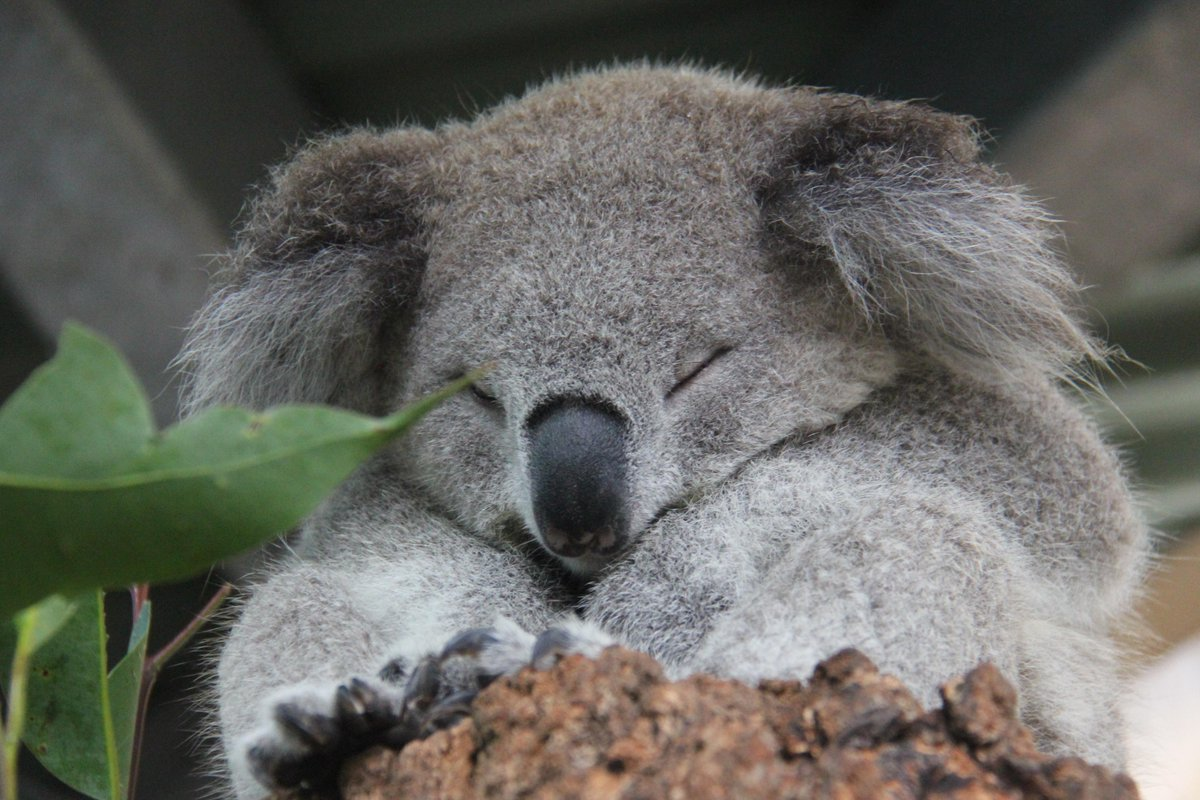 While the #SydneyStorm rages on, Holly the koala enjoys her mid-afternoon nap. Koala fur is waterproof! http://t.co/75KMWFYzfX