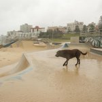 MILLIE THE NINJA DOG #nofear #bondi #skatepark #bondiskatepark #SydneyStorm #SydneyWeather #SydneyRain #labrador http://t.co/1sKy4r1Sxf