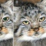 #いきものウィーク のタグでご紹介した上野動物園のマヌルネコ。瞳の変化はこのとおり。イエネコとくらべると…? http://t.co/8xB6mPP8Gz