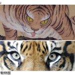 ネコ類の目といえば、府中市美術館の企画展「動物絵画の250年」がとてもすばらしかったんですけど、たくさん描かれていたトラの絵に何だかカワイイ印象を受けたので、ここで本物のトラの目と比べてみましょう(上は原在明「水呑虎図」江戸時代後期) http://t.co/yCn0LZ5myw