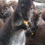 べネットワラビーのグミくんです! 上手に手で持って、大好きなかぼちゃを食べてます! #いきものウィーク #たべもの #動物園 http://t.co/x069W4Su7h