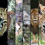 出版社メリアム=ウェブスター社さん@MerriamWebsterが毎日「今日の単語」を配信してくれるんですけど、昨日の単語は ailurophile(アイルロファイル)。意味は「ネコ好き」。そこで…都立動物園・水族園のネコ類カモン! http://t.co/di4v3zGSuB