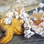 葛西臨海水族園のフリソデエビ、お食事中。なにを食べているかというと…ヒトデ。東京ズーネット記事☞http://t.co/2hcMyxEtvV #いきものウィーク #たべもの http://t.co/2W7XWwPWyV