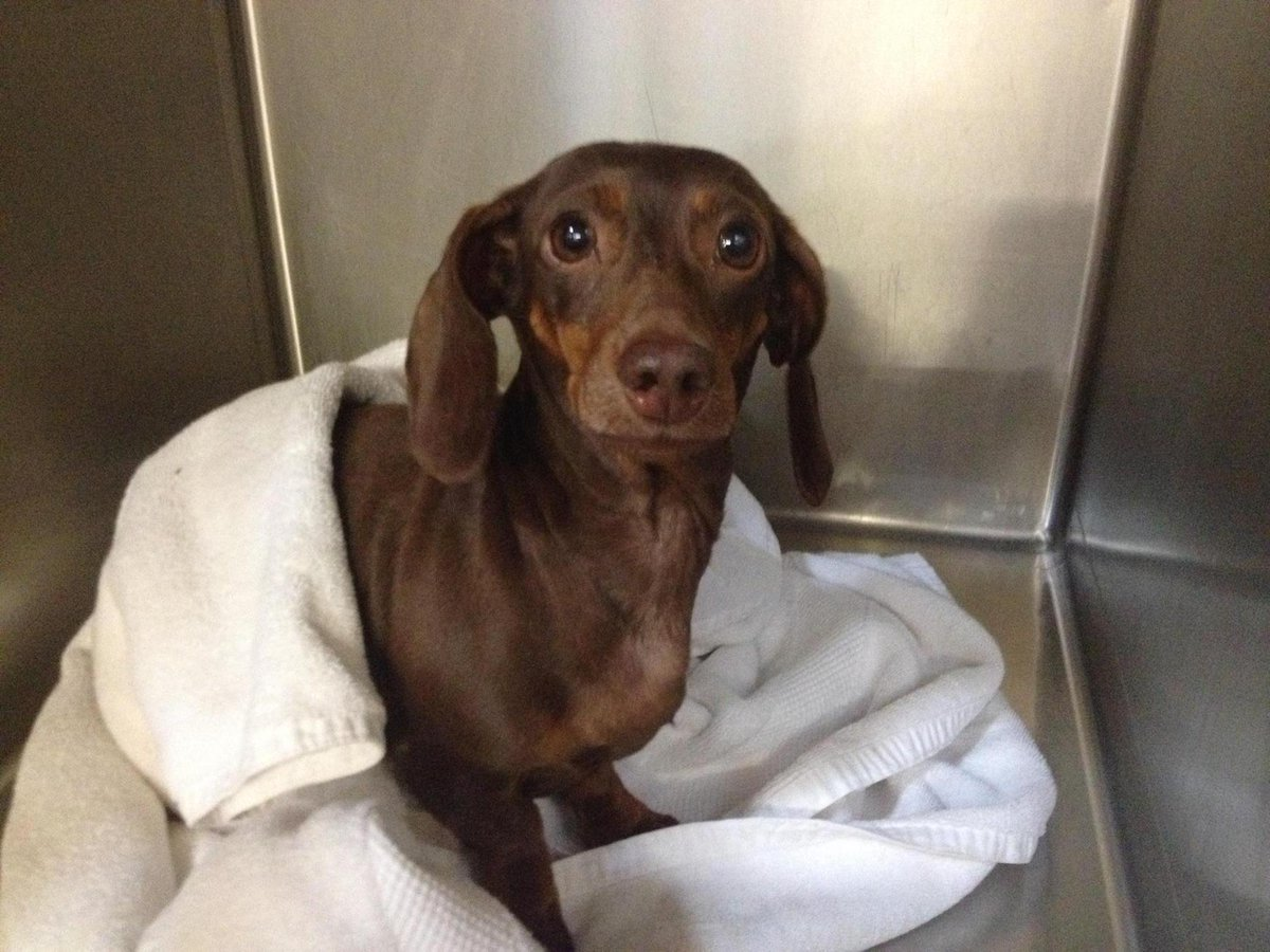 Fern found paralyzed by #IVDD on the street by AC. We are already working with 1 down foster. Can you help? http://t.co/CGbzoZryOK