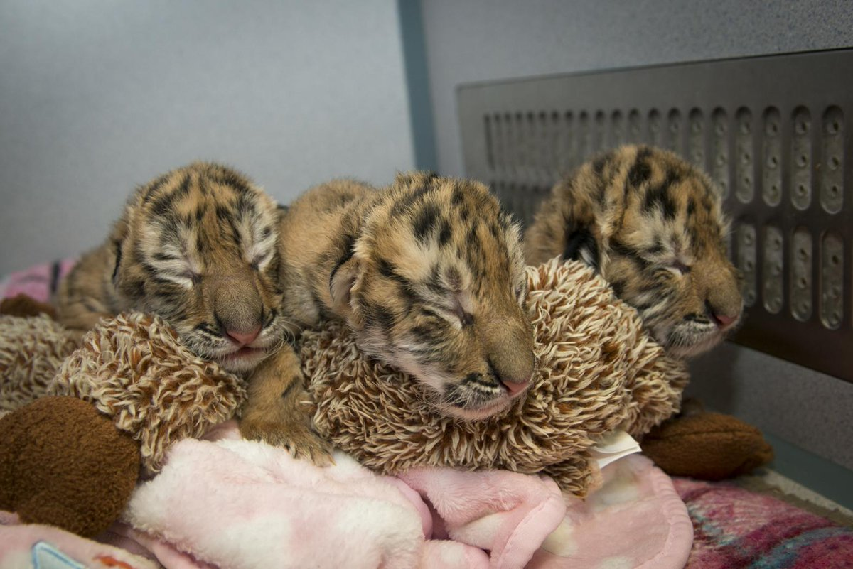 BABY ANIMAL! Male Amur #tiger triplets born on 4/21 to first-time mom, Irisa. #zooborns http://t.co/aagJj4P8aX