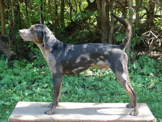 View Image Leopard Coonhound