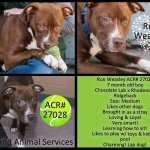 Ron Weasley loves a lap! Why not yours? #Adopt #Oakland #CA #labrador mix ???? -> http://t.co/yd7jLxeLet http://t.co/LffQDoDshS