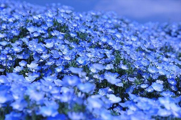 見頃をむかえました!  450万本の『ネモフィラ』が彩る青の絶景にため息。  茨城県ひたちなか市・ひたち海浜公園   http://t.co/M9tz78eg99 @grapeejpから http://t.co/raHQQo9Qgc