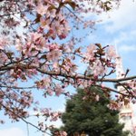 【今日の札幌】大通公園も桜が咲きました。 http://t.co/vdmxMujg8Z