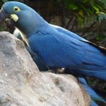 @qtf Extraña especie azul nace en cautiverio en el zoológico de Sao Paulo. Investigan si proviene de las guacamayas. http://t.co/39LzhFfDOe
