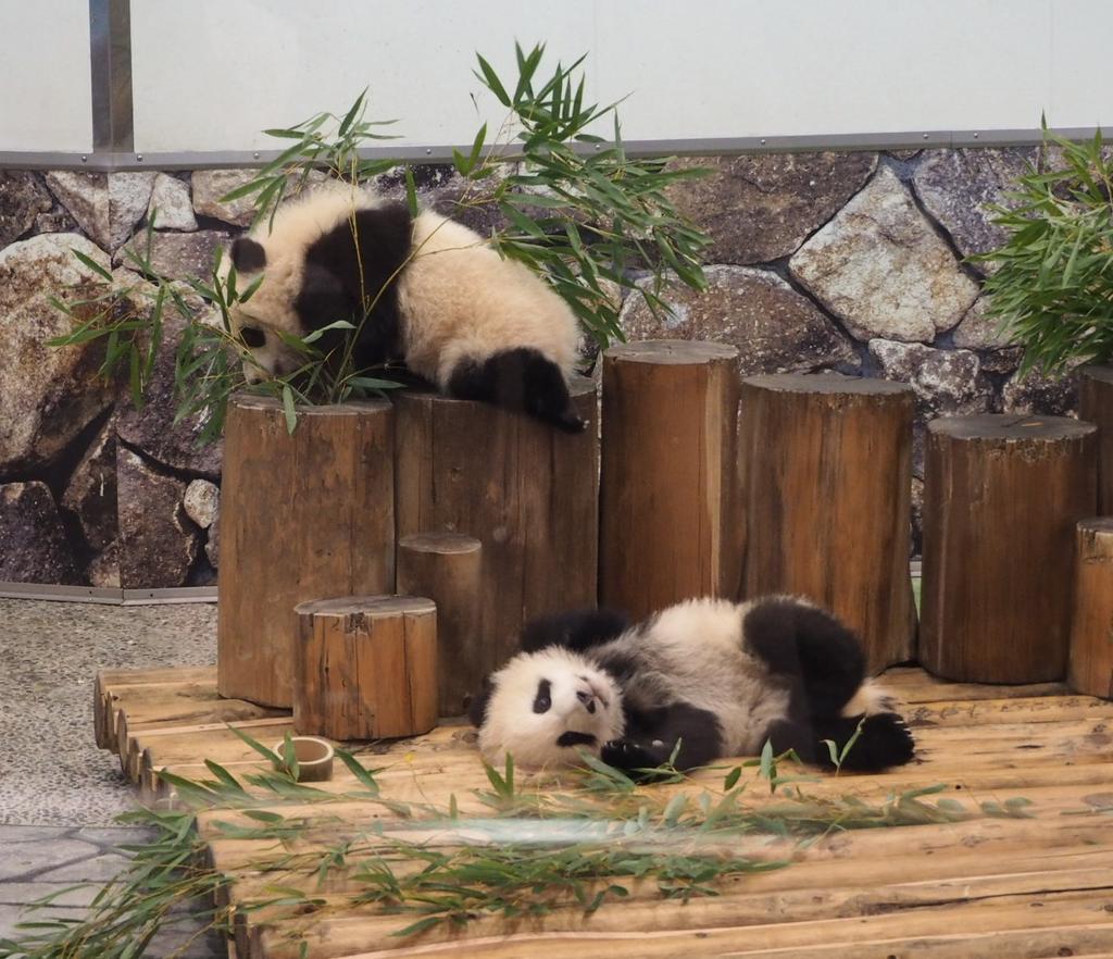 生後約5ヶ月の双子パンダ。歩きはじめてめちゃかわいー。妹の桃浜の方がおてんばだそう。ぜひ一度会いに来てください♪ http://t.co/qRckAV6ccz