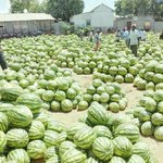 #TheSomaliaYouNeverHearAbout  They will not tel u Somalia is a leader in fruit production in East Africa @Farhiyaa4 http://t.co/Y14ZaGdvjm