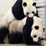 RT @nypost: Giant pandas Kai Kai & Jia Jia broke a mating record with their wild, 40-minute sex marathon http://t.co/7iqWDZbLN6