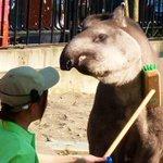 そこで上野動物園では「世界バクの日」の前日、本日2015年4月26日(日)、イベント「飼育係によるバクへのおもてなしフルコース」を開催。14時に東園ラマバク舎にて。東京ズーネットお知らせ☞http://t.co/xG8bTZ0RsY http://t.co/VWiaiv86xM