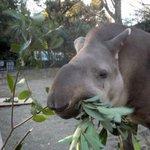 お待ちしております #WorldTapirDay #上野動物園 http://t.co/xG8bTZ0RsY http://t.co/Ph4T6fRl2B