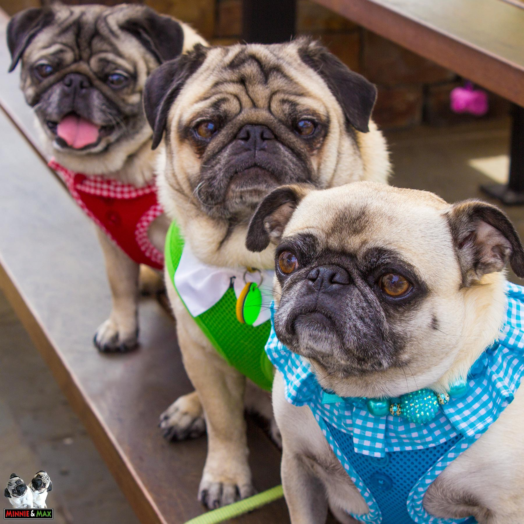 Lunch with our friend Matti the Pug. @GottsRoadside @tandcvillage #pug http://t.co/iOegdZXILR