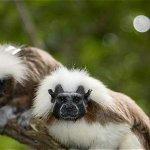 Tití, el monito colombiano que clama protección http://t.co/5A27GCtsKU http://t.co/wb6IcoTdTb