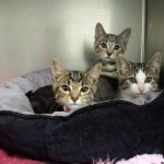 Due to capacity issues, we are having half price adoptions for all cats & kittens at @rspcaact this week! #Canberra http://t.co/KaCfrvPzmf