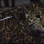 La Profepa investigará origen del jaguar en video del Cumbres http://t.co/nhnRV92bij http://t.co/22Mtyms7RU