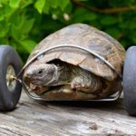 Tortoise is fitted with her own set of wheels after losing front legs in rat attack http://t.co/cujQjdEWss http://t.co/SykReoTdK6